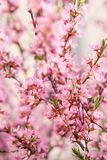 O arbusto de floresc?ncia da mola com as flores da cor cor-de-rosa Floresc?ncia sazonal abundante foto de stock