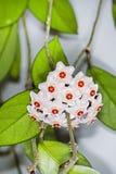 O arbusto de ondulação com uma flor (carnosa de Hoya do latim) Imagem de Stock