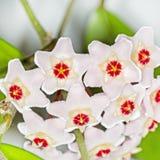 O arbusto de ondulação com uma flor (carnosa de Hoya do latim) Fotos de Stock