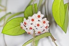 O arbusto de ondulação com uma flor (carnosa de Hoya do latim) Fotografia de Stock Royalty Free