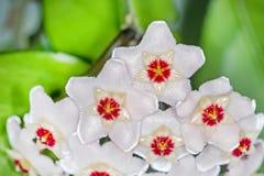 O arbusto de ondulação com uma flor (carnosa de Hoya do latim) Imagens de Stock