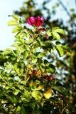 O arbusto do briar com uma flor e um fruto Fotografia de Stock Royalty Free