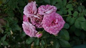 O arbusto do multiflora de Rosa imagens de stock