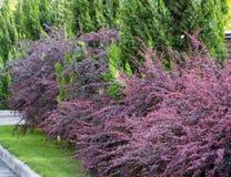 O arbusto do outono da bérberis com vermelho sae do close up fotos de stock