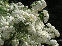 O arbusto do spiraea branco imagem de stock royalty free
