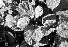 O arbusto preto e branco sae da textura Foto de Stock