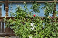 O arbusto verde aumentou no fundo de uma parede azul da casa imagens de stock