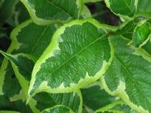 O arbusto verde brilhante vibrante do arbusto da árvore sae com as bordas brancas Feche acima da ideia do fundo verde das folhas  imagem de stock royalty free
