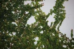 O arbusto verde cresce em um muro de cimento Folhas do verde no fundo do muro de cimento foto de stock royalty free