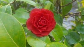 O arbusto vermelho aumentou Imagens de Stock Royalty Free
