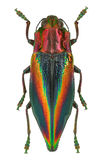 O arco-íris coloriu o javanica de Cyphogastra do besouro da joia de Indonésia foto de stock