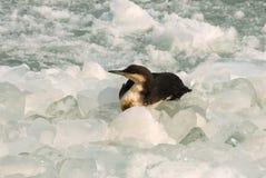 O arctica preto-throated do Gavia do mergulhão-do-norte é um b aquático migratório Imagens de Stock Royalty Free