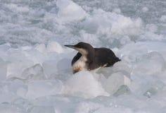 O arctica preto-throated do Gavia do mergulhão-do-norte é um b aquático migratório Imagem de Stock Royalty Free
