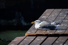 O argentatus do Larus da gaivota de arenques com olhos fechou-se empoleirado em um passeio à beira mar imagem de stock