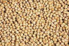 O arietinum do Cicer é nome científico da leguminosa dos grãos-de-bico Igualmente sabido como o feijão do grão-de-bico, o Chick P Fotos de Stock Royalty Free