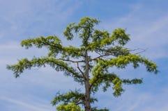 O Arizona Cypress Fotos de Stock Royalty Free