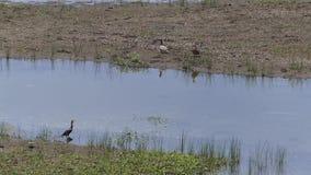 O Arizona, lago Mary, opinião de A dois patos e um pássaro do cormorão no mais baixo lago Mary vídeos de arquivo