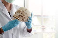 O arqueólogo ou o cientista vestem as luvas de borracha azuis que guardam o modelo do crânio para estudar a anatomia humana no la fotos de stock royalty free