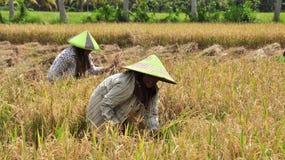 O arroz é joeirado em Bali Imagens de Stock Royalty Free