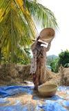 O arroz é joeirado em Bali Fotos de Stock Royalty Free