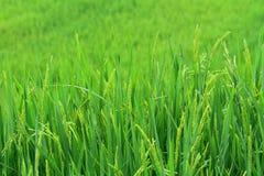 O arroz Imagem de Stock