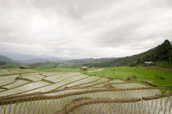 O arroz arquivou o terraço na estação da colheita na parte nortenha de Thailan Foto de Stock