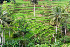 O arroz colhe o terraço em Bali fotografia de stock
