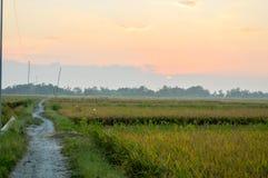 O arroz coloca o cenário no tempo do nascer do sol Imagem de Stock Royalty Free