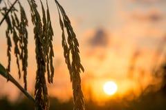 O arroz coloca em Tailândia do sul, fundo natural do nascer do sol fotos de stock