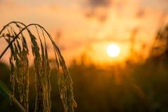 O arroz coloca em Tailândia do sul, fundo natural do nascer do sol fotografia de stock royalty free
