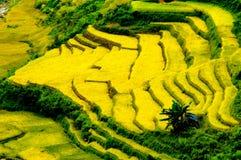 O arroz coloca em terraced de MU Cang Chai, YenBai, Vietname Foto de Stock