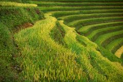 O arroz coloca em terraced de MU Cang Chai, YenBai, Vietname Arroz f fotos de stock royalty free