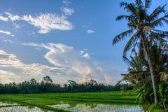 O arroz coloca em Ubud, ilha de Bali, Indonésia fotografia de stock