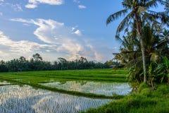 O arroz coloca em Ubud, ilha de Bali, Indonésia imagem de stock royalty free