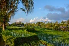 O arroz coloca em Ubud, ilha de Bali, Indonésia foto de stock
