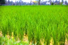 O arroz coloca na ilha de Bali, Ubud, Indonésia foto de stock