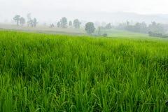 O arroz coloca nas montanhas entre o embaçamento da manhã imagem de stock royalty free