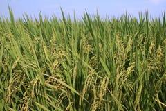 O arroz coloca uma vista mais próxima contra o céu azul Fotografia de Stock Royalty Free