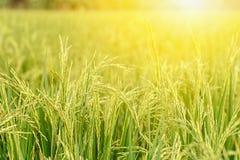 O arroz coloca o verde e o ouro é imagens bonitas imagens de stock