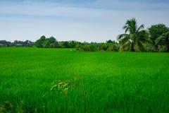 O arroz coloca Vietname fotografia de stock