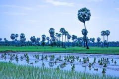 O arroz de Camboja da exploração agrícola do campo no kampong spue província Fotografia de Stock Royalty Free