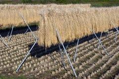 O arroz desengaça III Imagens de Stock Royalty Free