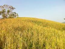 O arroz do ouro Imagem de Stock Royalty Free