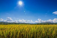 O arroz do ouro arquivou sob o céu azul e a nuvem no tempo de colheita imagem de stock