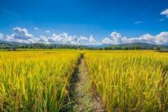 O arroz do ouro arquivou sob o céu azul e a nuvem no tempo de colheita foto de stock