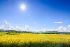 O arroz do ouro arquivou sob o céu azul e a nuvem no tempo de colheita imagens de stock royalty free