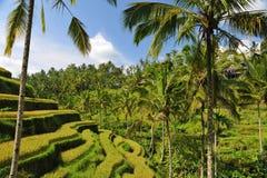 O arroz do terraço coloca na manhã, Ubud, Bali fotografia de stock royalty free