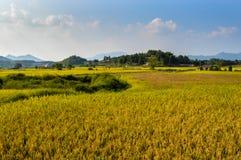 O arroz dourado é maduro Fotografia de Stock