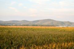 O arroz dourado coloca a paisagem Imagens de Stock Royalty Free