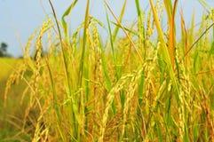 O arroz dourado que brilha está completo para a colheita fotos de stock